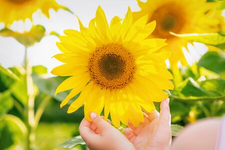 Hands of little child touching petals of sunflower in the field in summer.