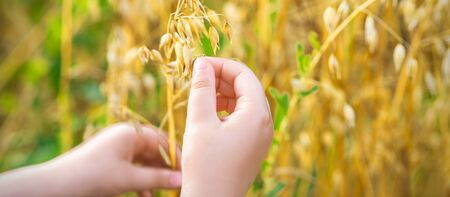 Close up of child's hand holding the ears of oats in the field in summer. Zdjęcie Seryjne
