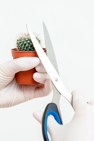 Human hands in protective gloves cutting thorn of cactus by scissors on white background Stock fotó