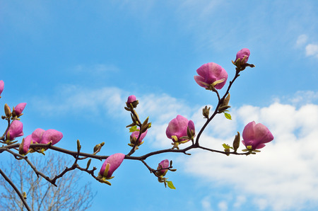 magnolia soulangeana: A branch of magnolia is flowering against the spring sky  Saucer magnolia or Magnolia Soulangeana is the most popular garden genus  Stock Photo