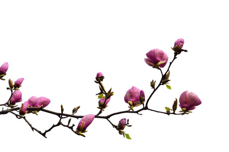 Flowering branch of magnolia is isolated on white  Saucer magnolia or Magnolia Soulangeana is the most popular garden genus  photo