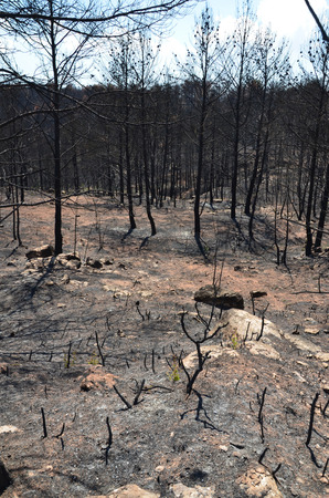Dead forest is photographed after wildfire   photo