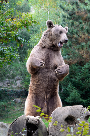 Mature brown bear is standing on hind paws and growling in the forest