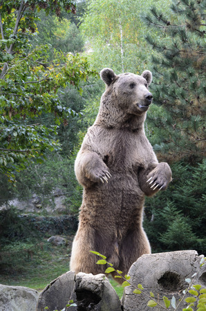 Mature brown bear is standing on hind paws in the forest