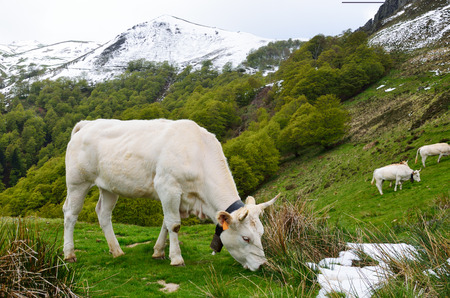 bloodstock: An ox feeds on the grassy pasture in the spring Pyrenees   Stock Photo