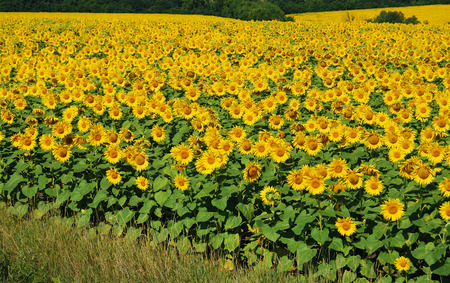 recedes: Flowering field of sunflowers recedes into the distance