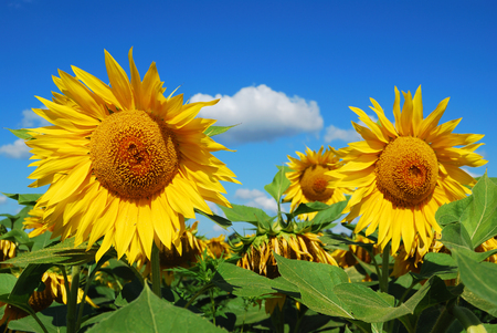 yielding: Yellow heads of young sunflowers against a green field and the summer blue sky
