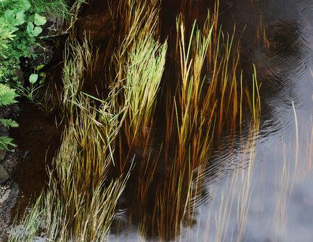 algas verdes: Agua del r�o transparente con algas verdes y plantas
