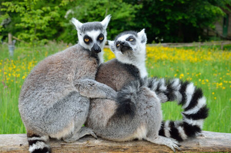 snuggling: Two ring-tailed lemurs are snuggling up together for warmth on the wooden fence at the animal park