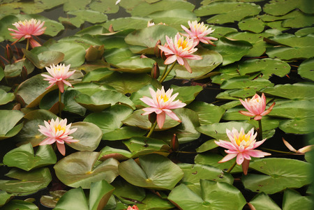 Quiet water surface is covered with green leaves and rosy flowers of lotus overall  Big pink flowers turns upwards