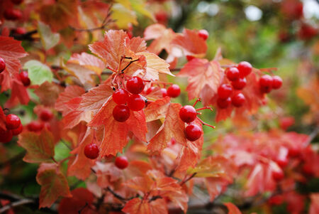 guelder: Red berries and reddish leaves of May rose