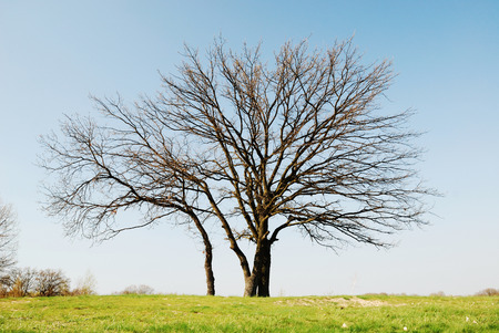 Bare trees are photographed against the blue sky in early spring Фото со стока - 28800077