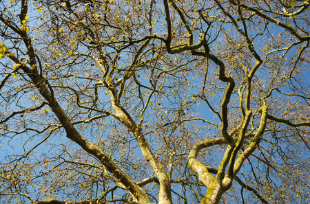 burgeoning: Deciduous tree is coming into leaf against the blue sky in early spring