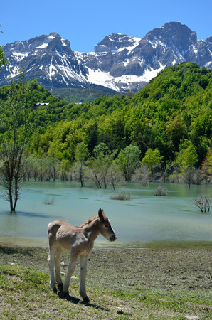 A colt is grazing near the floodwaters in the Spanish Pyrenees  photo