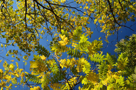 diagonally: Autumnal trees are photographed from below against the clear blue sky. Stock Photo