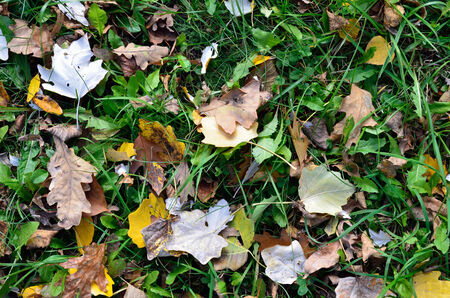 Dropped poplar and oak leaves are lying on the green grassy ground. photo