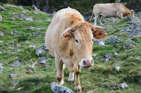 bloodstock: Cows are grazing on the grassy pasture in the autumn Pyrenees. Stock Photo