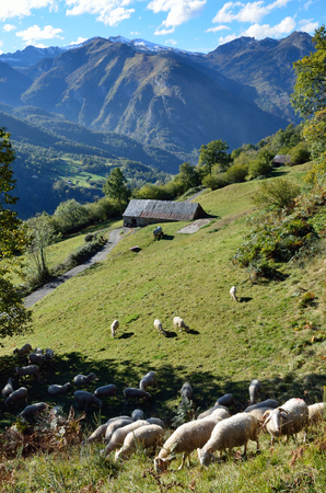 forested: Many sheep feed on the green grassy slope in the autumn Pyrenees. In the background there are mountains forested under the blue sky.