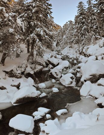 forested: The mountain river is running along the snowy slope forested with coniferous trees. Stock Photo