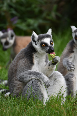 animal park: A ring-tailed lemur is eating at the animal park. Stock Photo