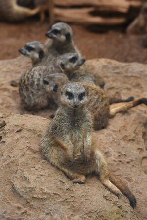 animal park: Five suricates are sitting together on the sand pile at the animal park.