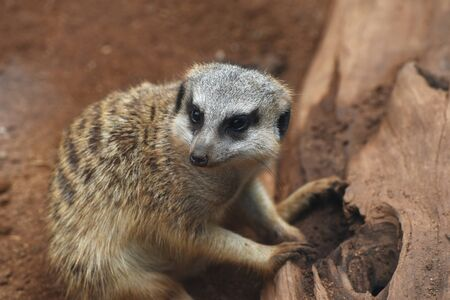 animal park: A suricate is sitting near the tree trunk at the animal park.