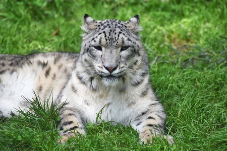 snow leopard: Mature snow leopard is lying in green grass in the zoo.