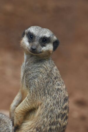 suricate: A suricate is photographed closely.