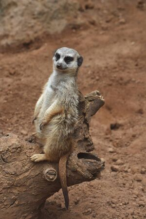 animal park: A suricate is sitting on the tree stem at the animal park. Stock Photo