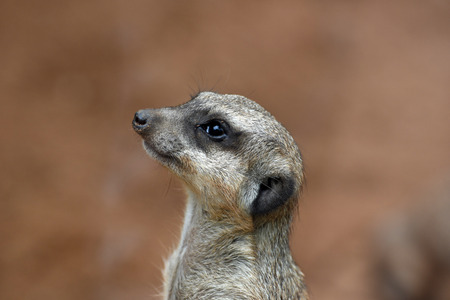 closely: A suricate is photographed closely.