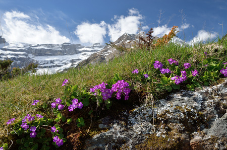 cirque: The wild plants Primula are flowering on the green slope. In the background there are snow mountain wall of the cirque of Gavarnie. Stock Photo