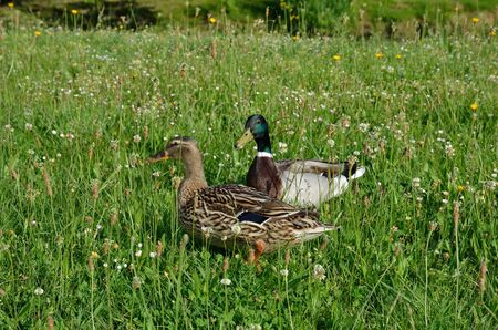 dabbling duck: The pair of mallards are grazing in the green grass. Stock Photo