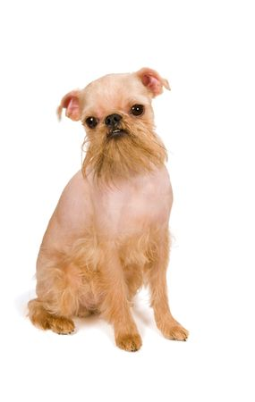 brussels griffon: Puppy of the Brussels griffon isolated on a white background