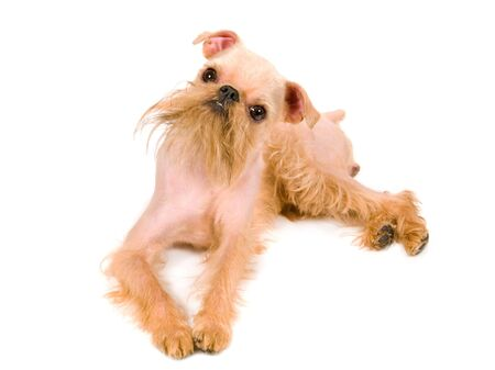griffon: Puppy of the Brussels griffon isolated on a white background