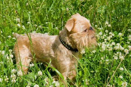 brussels griffon: Puppy of the Brussels griffon  is in a high green grass