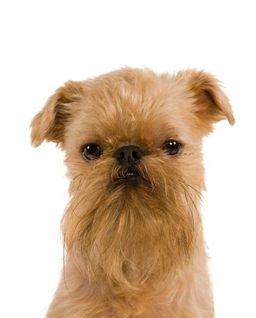 The portrait of puppy of the Brussels griffon is isolated on a white background