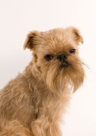 brussels griffon:  Portrait of puppy of the Brussels griffon   on a white background
