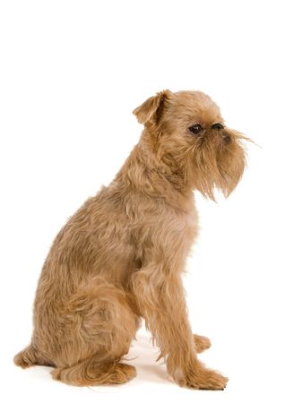 brussels griffon: The portrait of puppy of the Brussels griffon is isolated on a white background