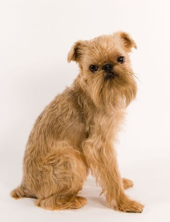 griffon: Portrait of puppy of the Brussels griffon   on a white background