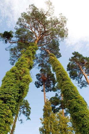 twined: The high pine-trees of Latvia twined about by clambering ivy