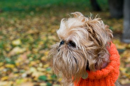 brussels griffon: Dog of breed the Brussels griffon sits in a park in autumn. Stock Photo