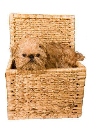 braiding: The puppy of the Brussels griffon sits in a braiding trunk, it is isolated on a white background.