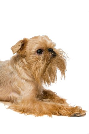 brussels griffon: Portrait of dog of breed the Brussels griffon is isolated on a white background. Stock Photo