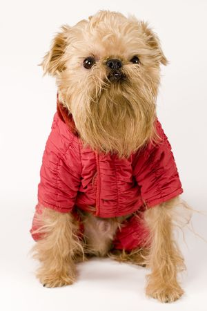 brussels griffon: Brussels Griffon dog breed in the red jacket