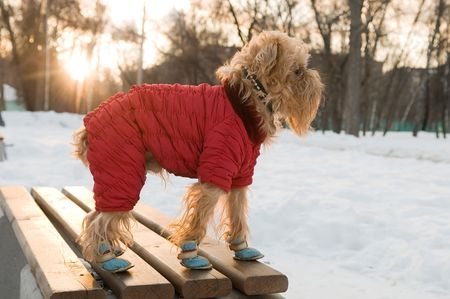 brussels griffon: The dog of breed the brussels griffon walks in the winter in a warm jacket and boots.