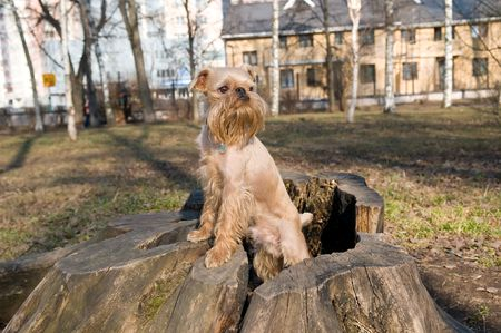 griffon bruxellois: Dog of breed the Griffon Bruxellois on walk in park in the spring.