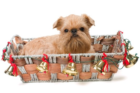 Christmas gift -  Griffon Bruxellois Stock Photo - 8135549