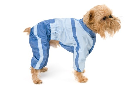 brussels griffon: Brussels Griffon dog breed in the blue jacket