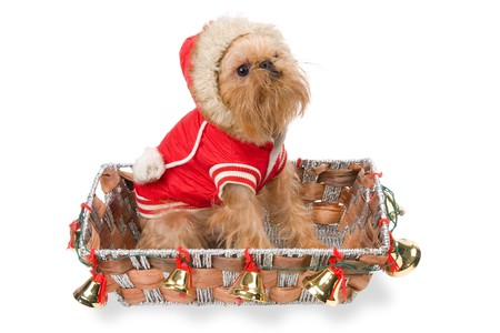 Christmas gift - Griffon Bruxellois Stock Photo - 8205265