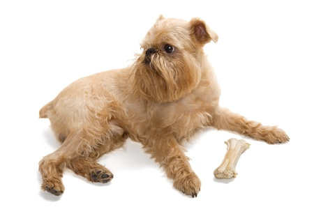 griffon bruxellois: The portrait of puppy of the Griffon Bruxellois is isolated on a white background